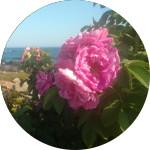Rose      Rosa  spp.  by Cassandra Elizabeth