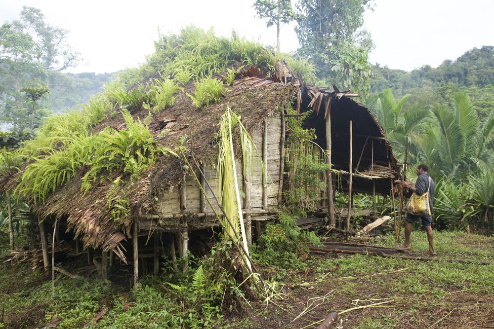 Bush camp homes are used too infrequently to preserve the sago-leaf roof with continuous woodsmoke from indoor fires. As a result, it takes just 3 years for a roof to be overcome by the surrounding jungle