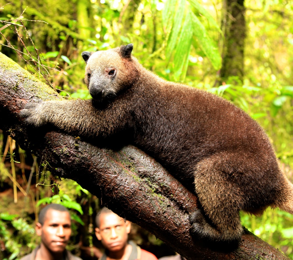 Tree Kangaroo Inside Mount Bosavi Crater-Papua New Guinea