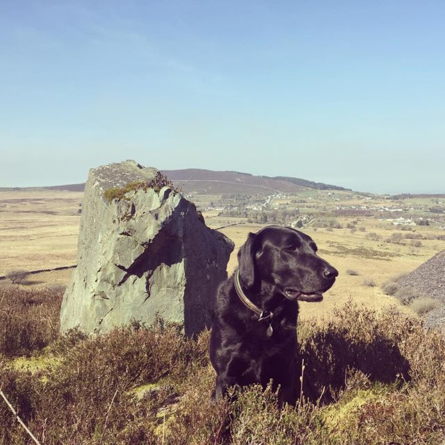 Our faithful hound admiring the hilltop view on a trip to Bethesda North Wales with Dave #adogslife #slatemine #geology #walkinginwales #snowdonia #hiraeth