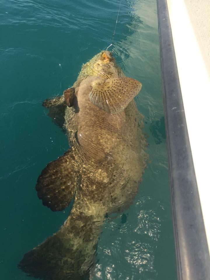 250 lb. Goliath Grouper
