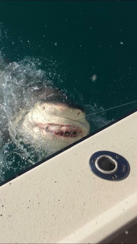 10 Foot Bull Shark
