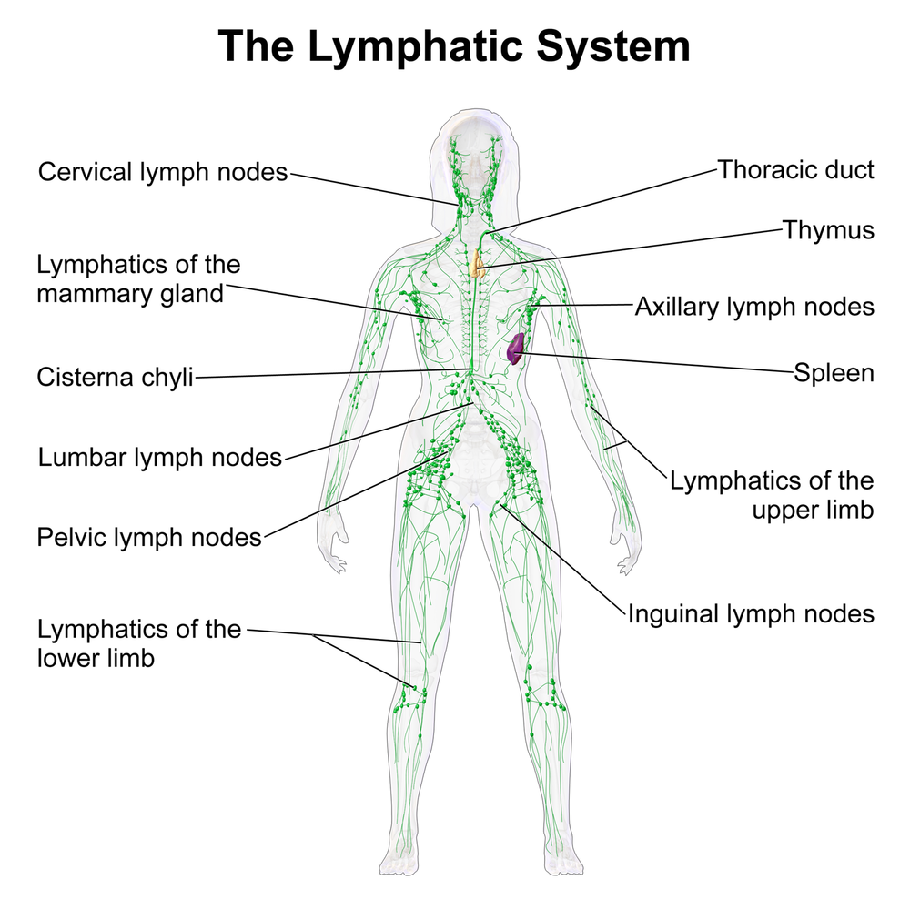 What We Should Know About Our Lymphatic System Elm City Wellness