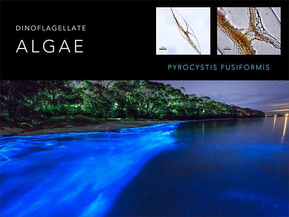 Weissgold.algae