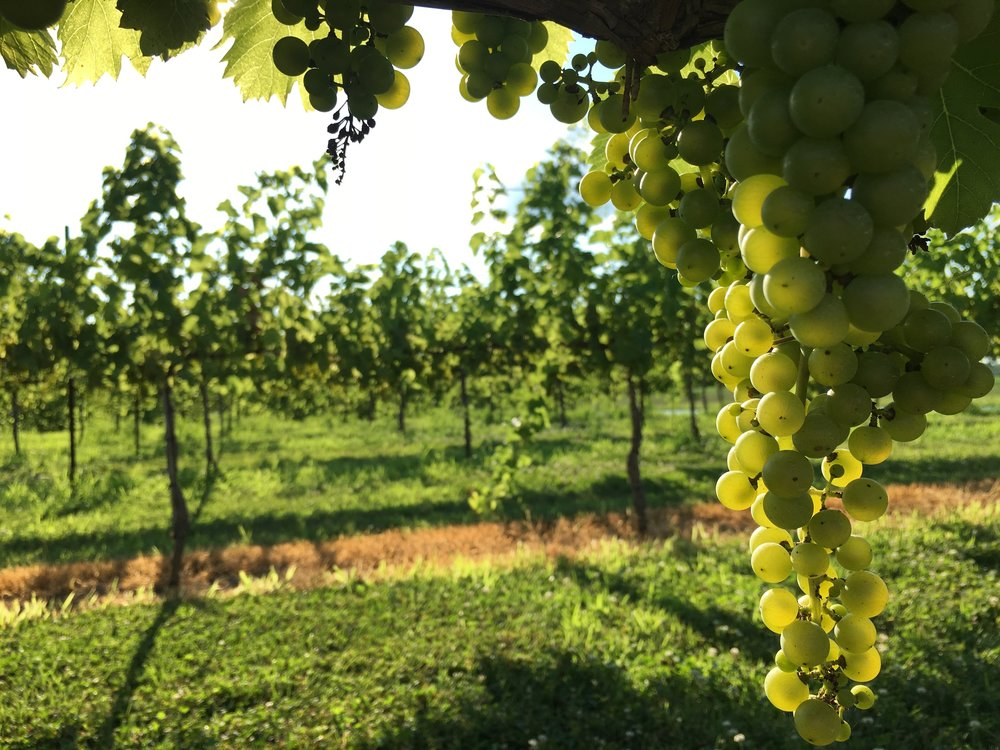 The-Pour-Vineyard-Grapes