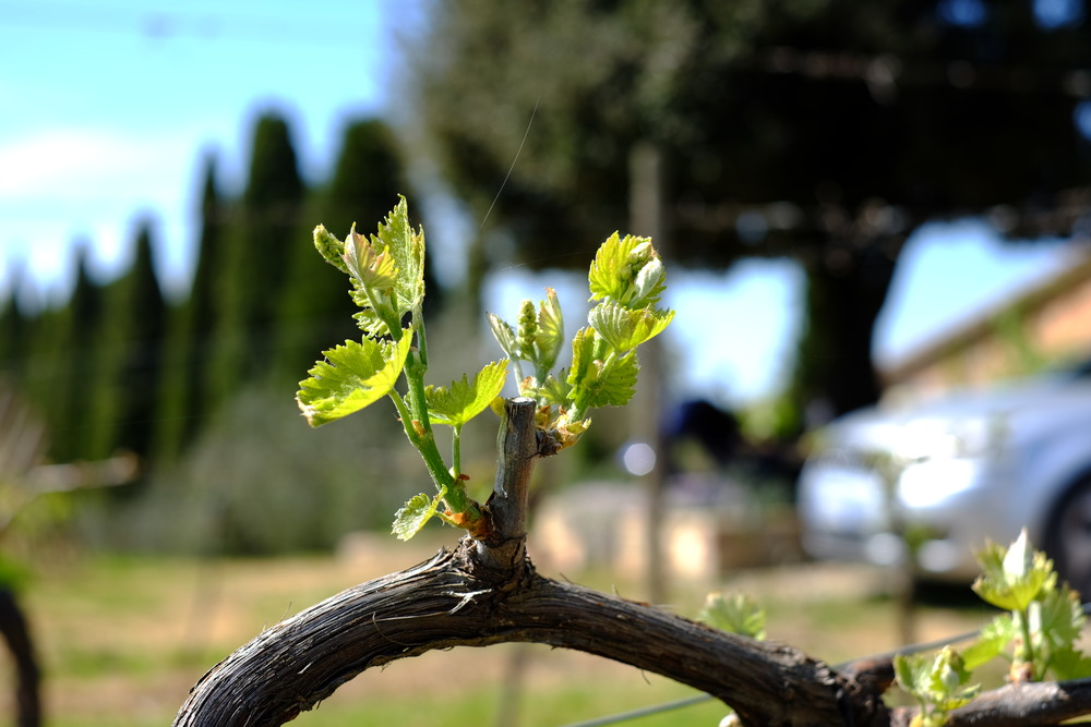 A 20-year old grape vine at the Boscarelli vineyard in Montepulciano, Italy.