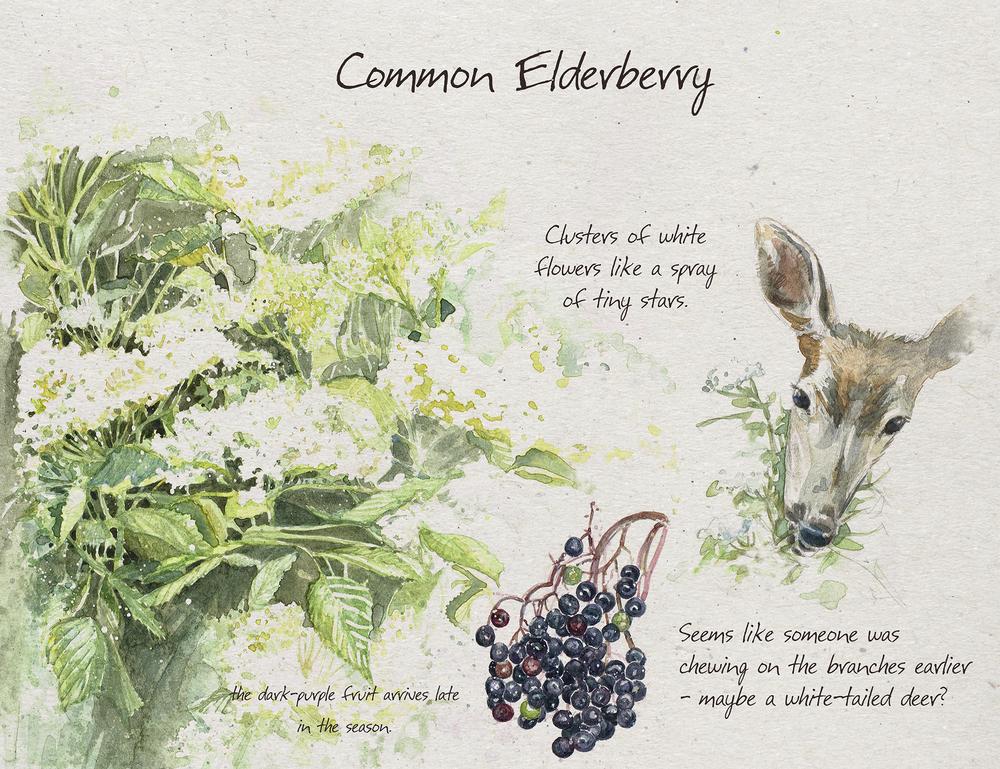 Elderberry_sm.jpg