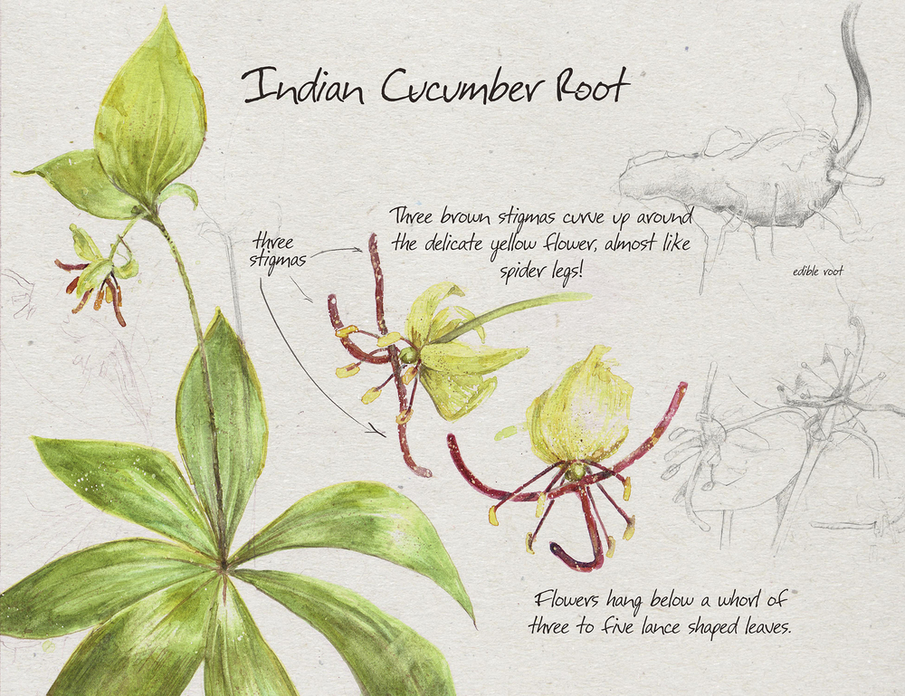 Indian_Cucumber_sm.jpg
