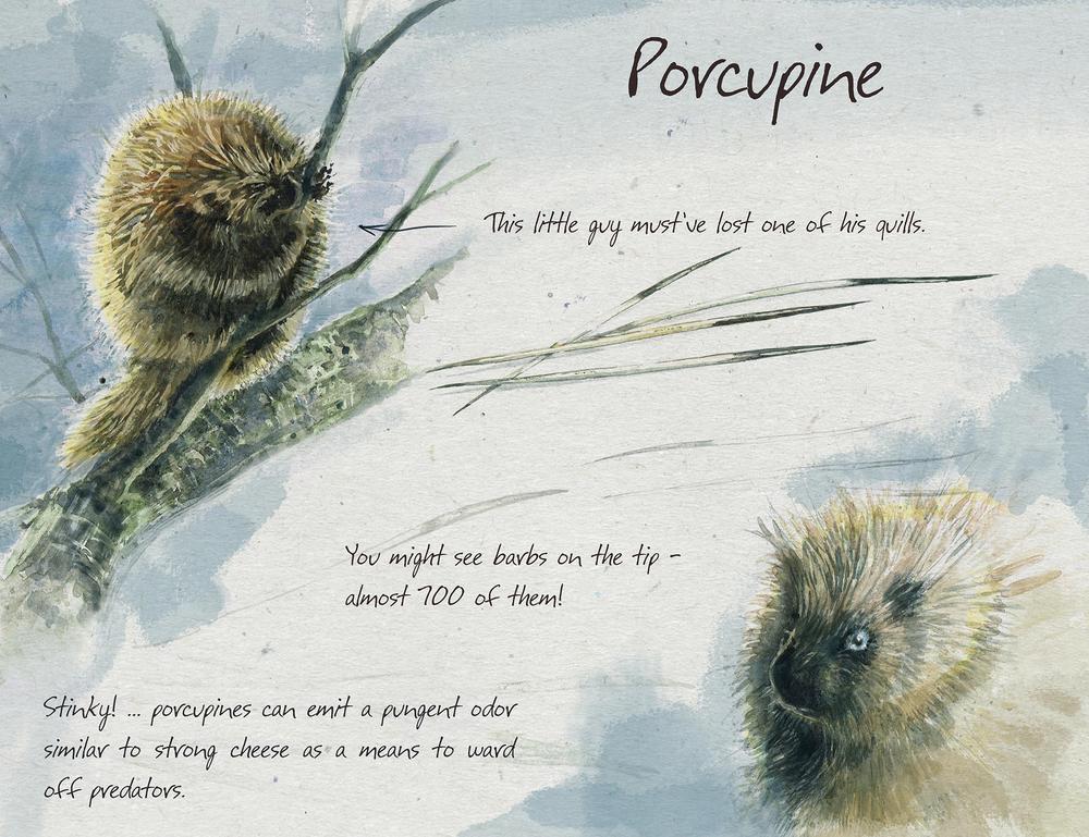Porcupine_sm.jpg
