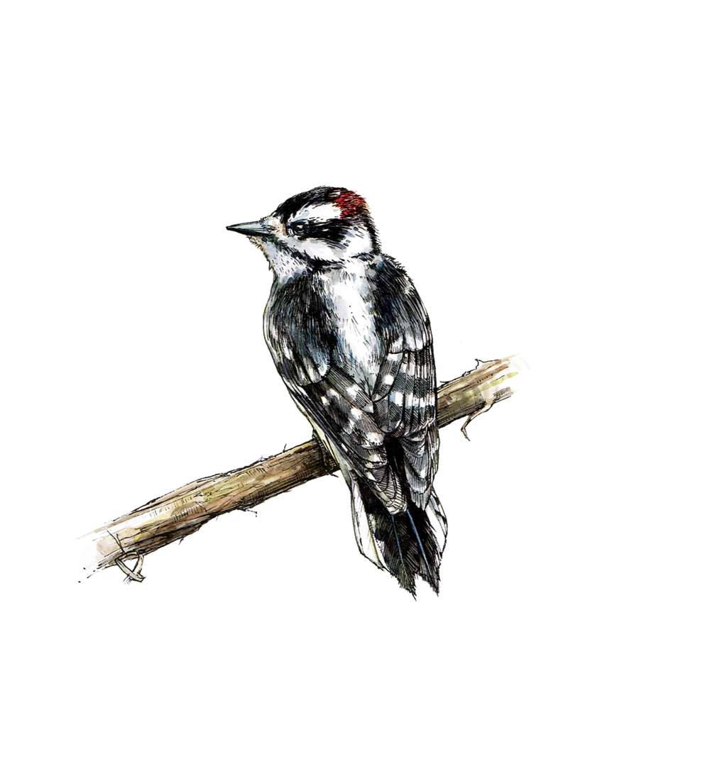 DownyWoodpecker.png