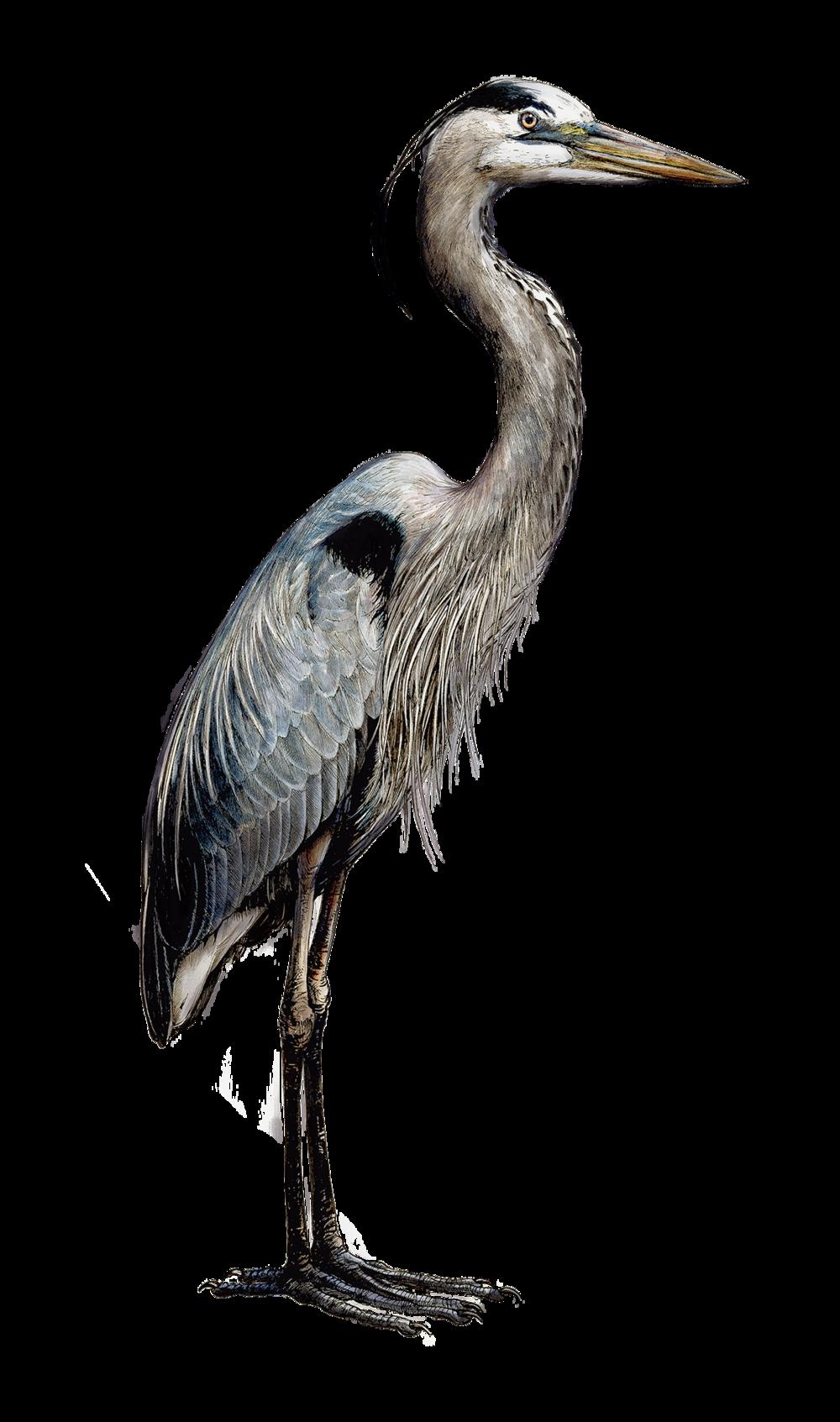 HeronSmaller.png