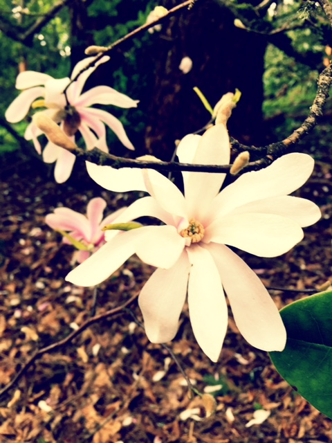 Magnolia varietal