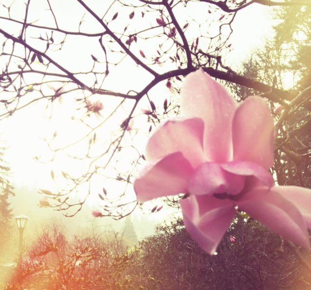 Magnolia blush