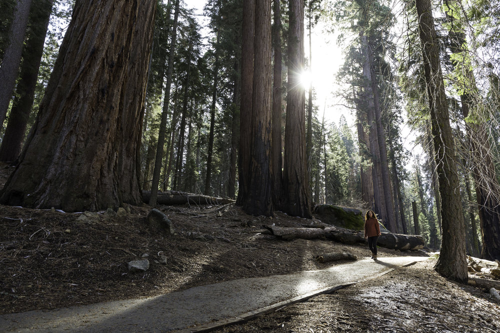 The early morning sun pierces through the giant sequoias canopy