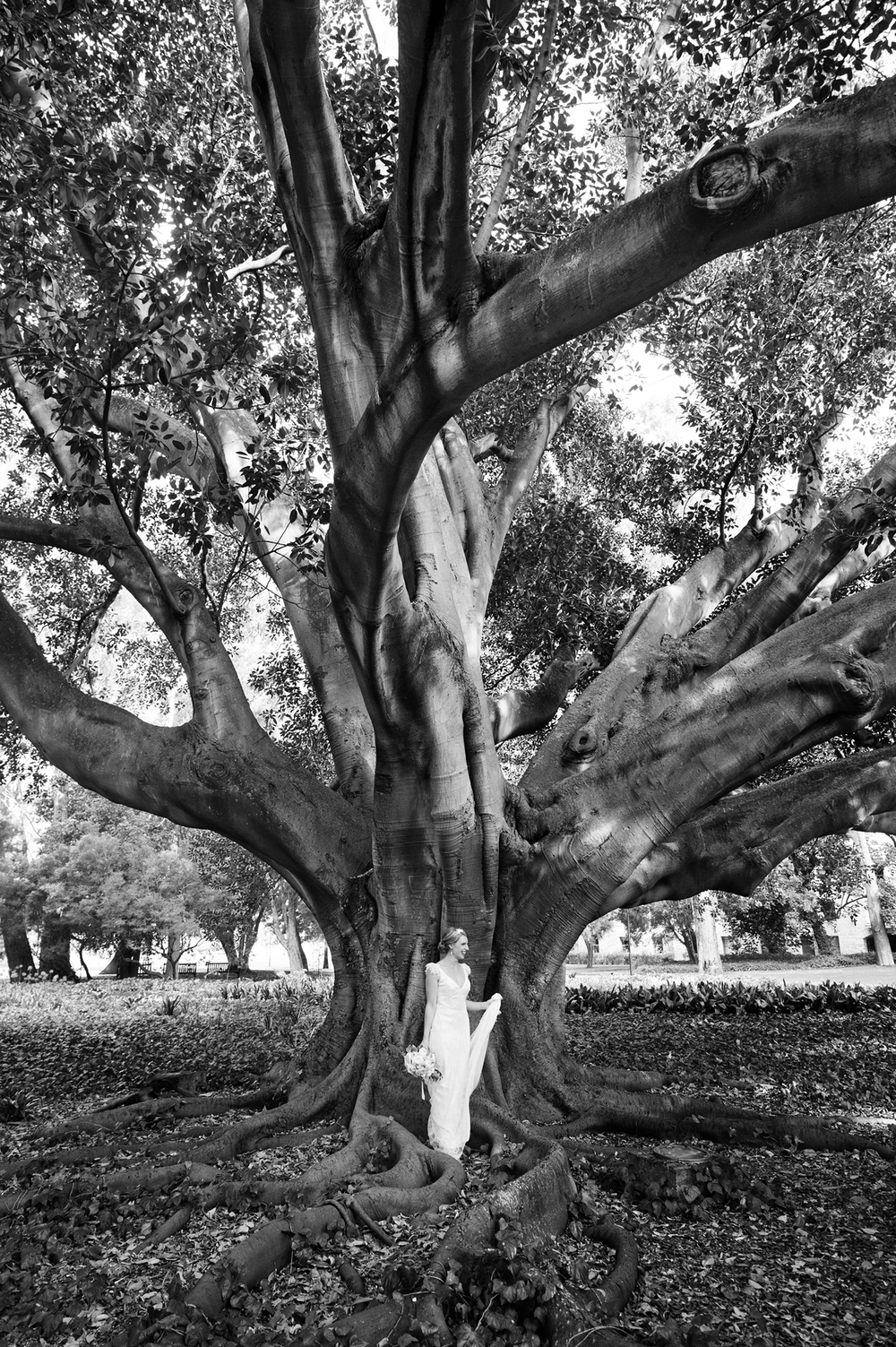 wedding photo with moreton bay fig tree perth uwa