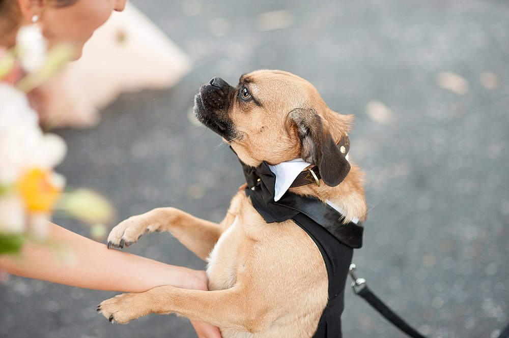 54_pug dog at wedding perth.jpg