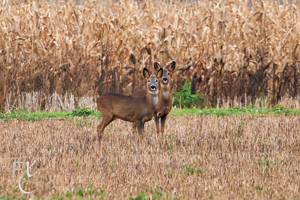 deer in Beckington