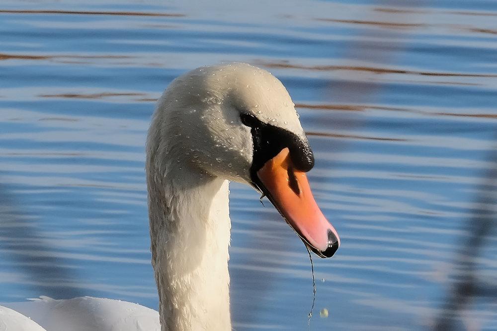 RSPB Swan