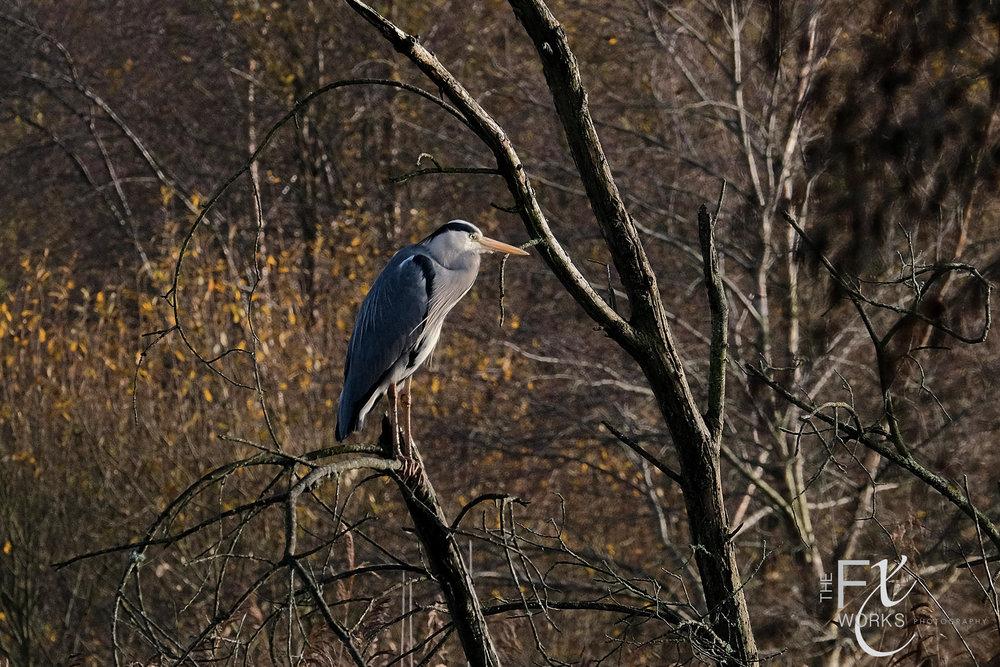 Heron - Ham Hill Somerset