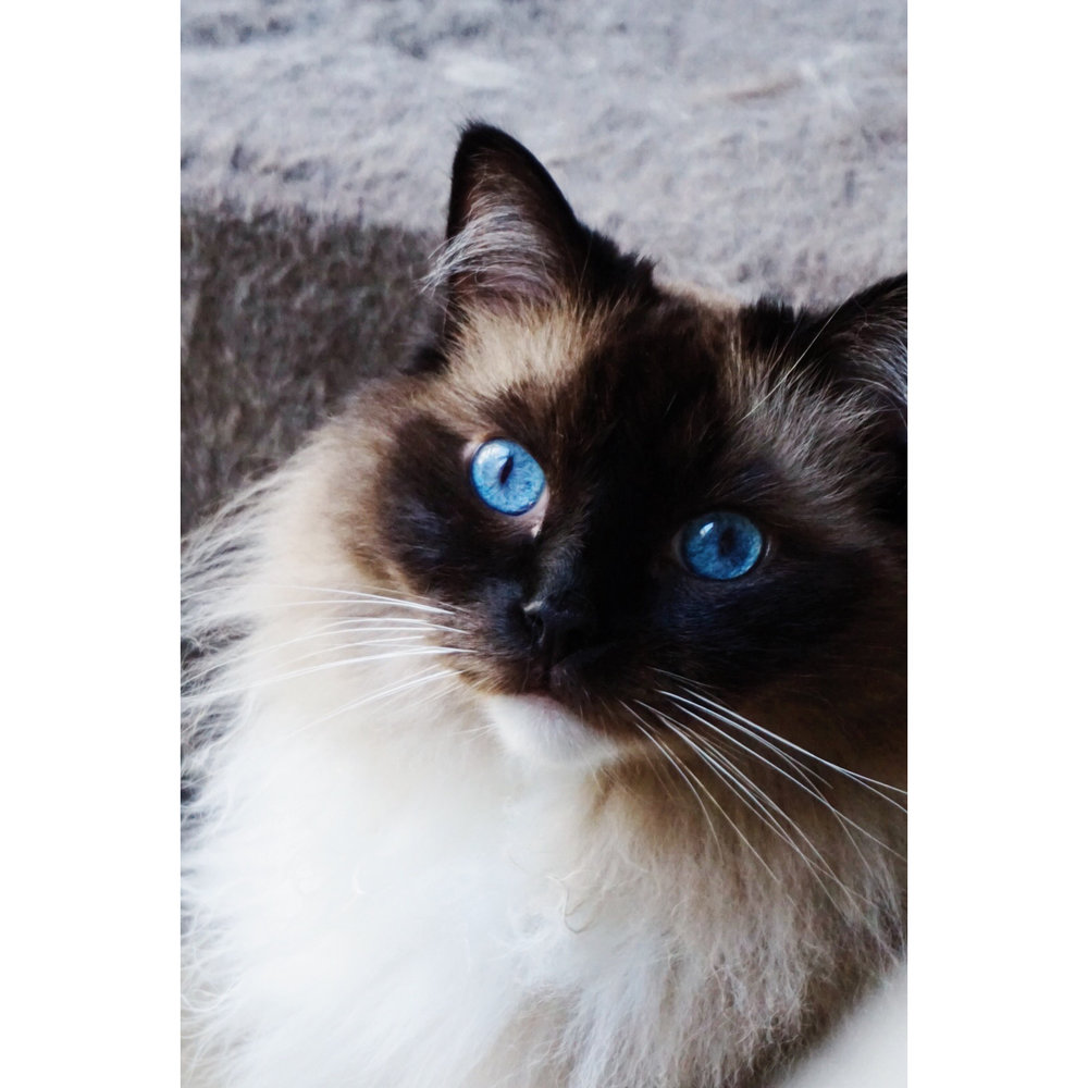 Ragdoll Otis Cat