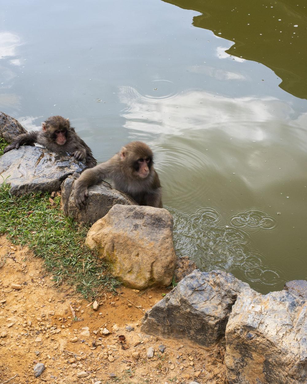 Monkeys taking a swim in Arashiyama, Kyoto