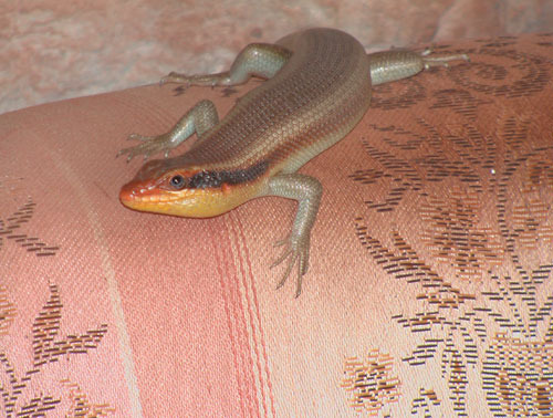 monze-bishop's-lizardlr.jpg
