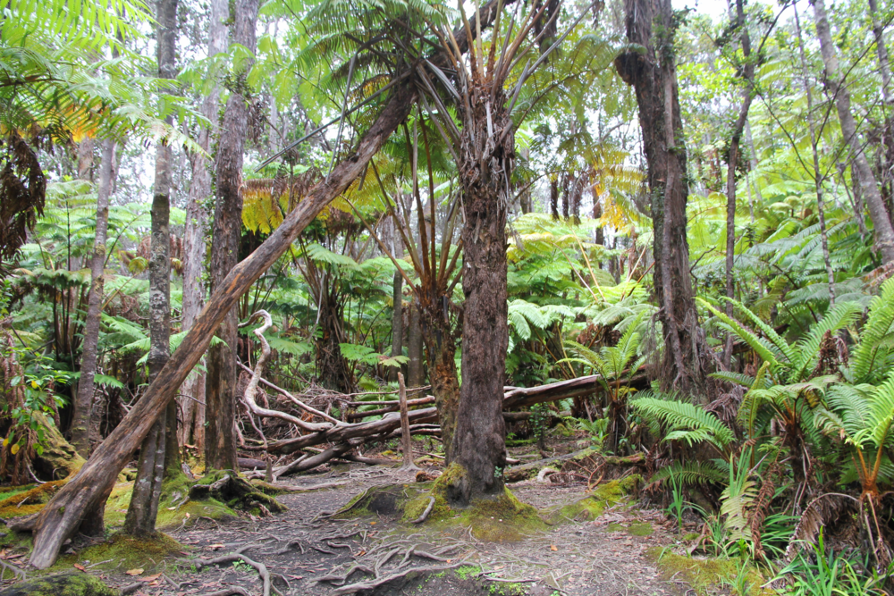 Fern Forest Volcano National Park