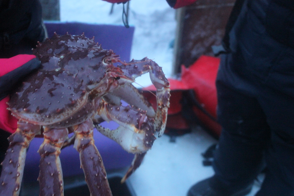 King Crabs fresh from the sea, Norway