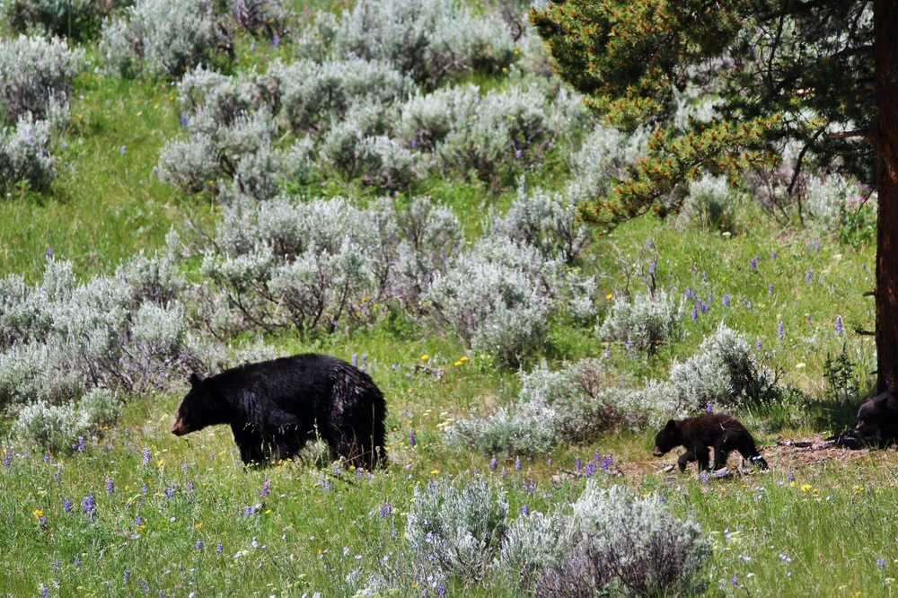 Black Bear and her Two Cubs - Yellowstone National Park