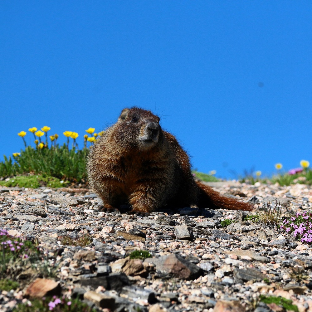 Friendly Marmot Posing for a Photo - Colorado