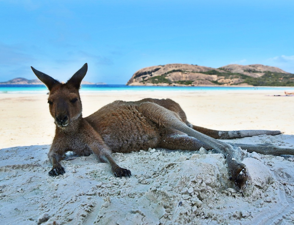 Resident Kangaroo relaxing under someones umbrella