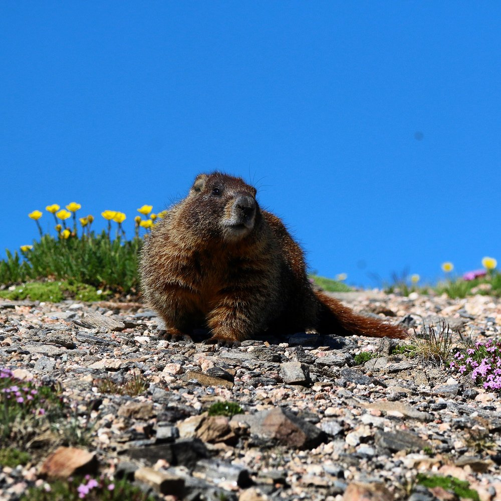 Marmot - Rocky Mountain National Park (Colorado)