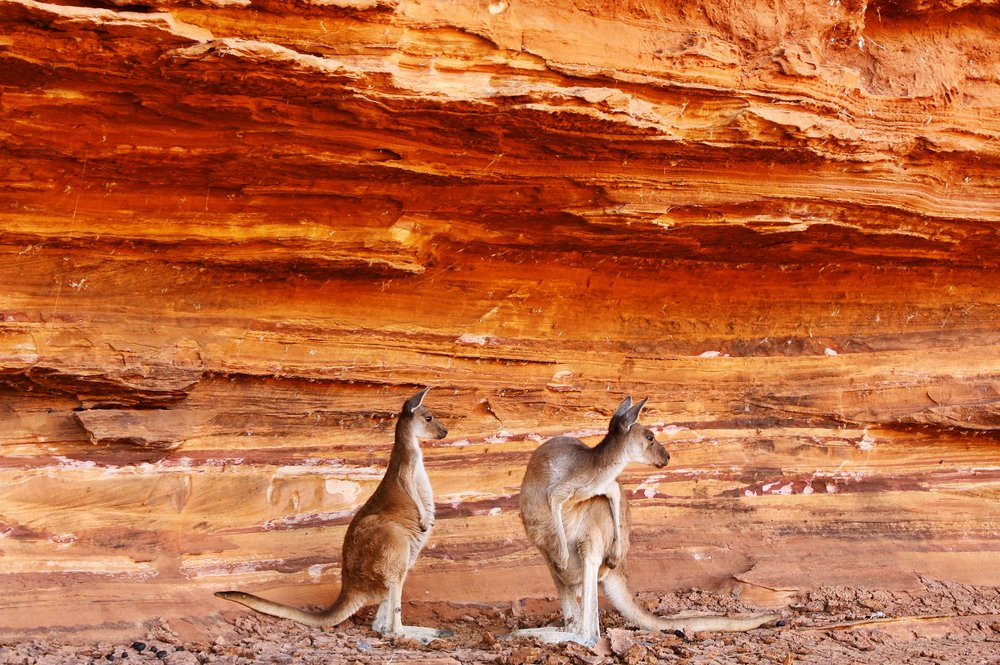 Kangaroos in the Gorge - Western Australia