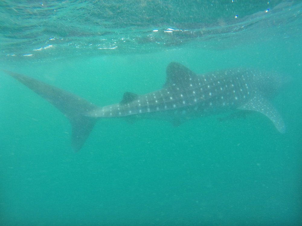 Swimming with the Whale Sharks - Western Australia