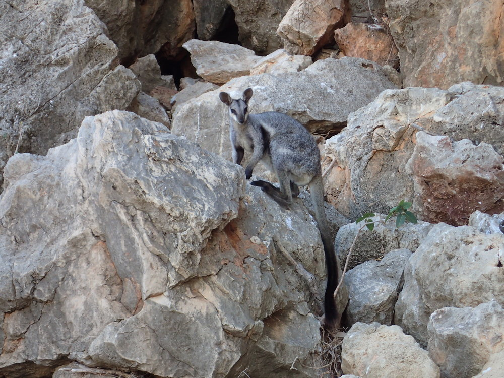 Rock Wallaby - Western Australia