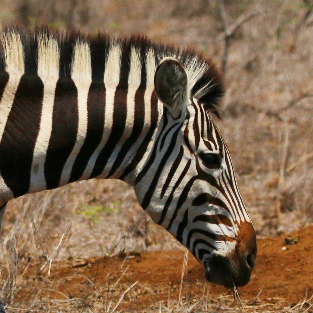 Zebra in Kruger National Park - South Africa