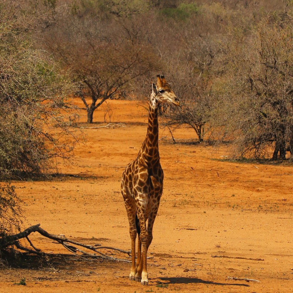 Giraffe in Kruger National Park - South Africa