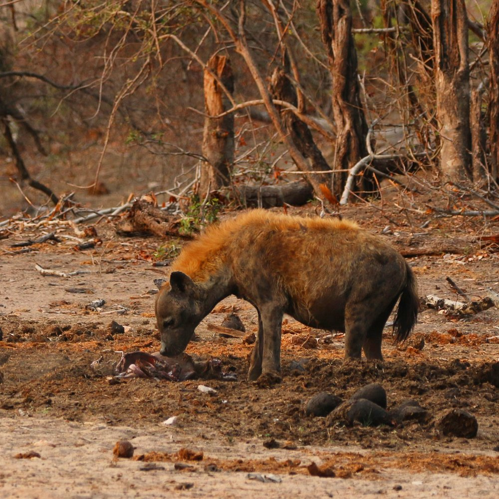 Hyena and its carcass - Kruger National Park