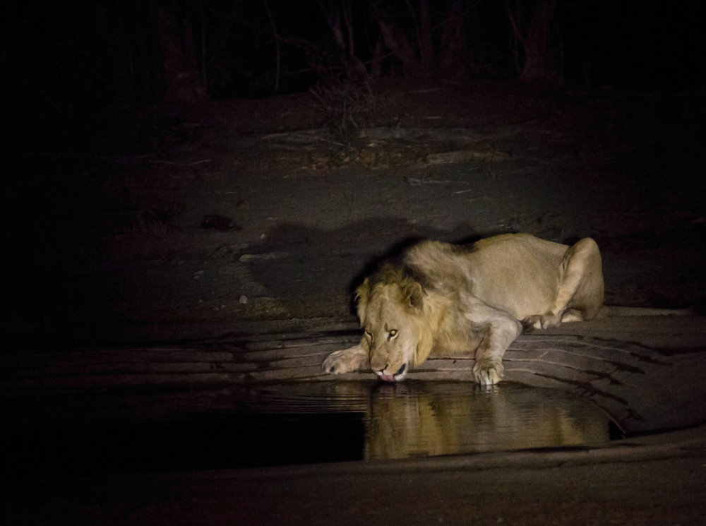Lion drinking on the night time game drive - Kruger National Park - South Africa
