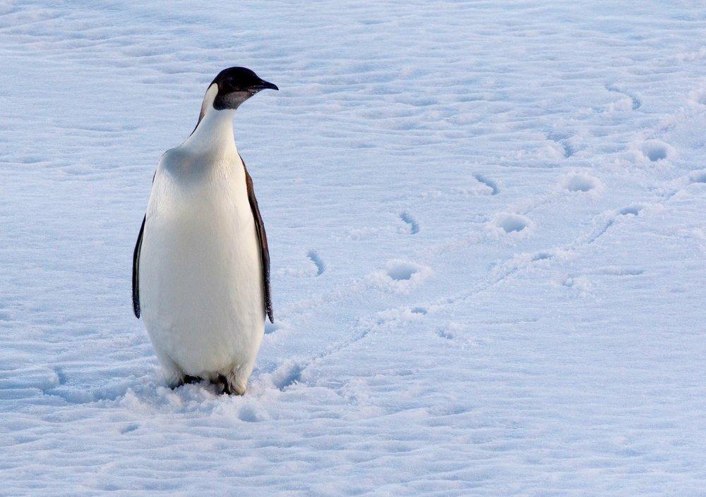 Lonley Emperor Penguin - Antarctica