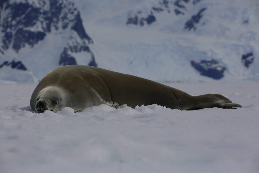 Just lazing on the ice - Antarctica