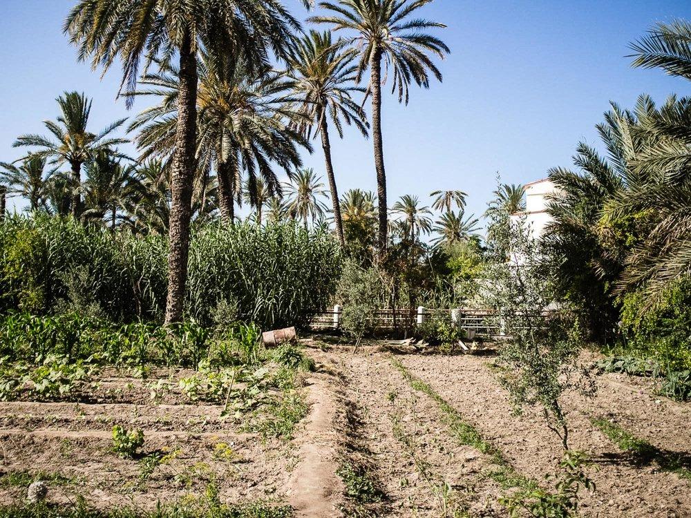 Oasis de Chenini. Gabès. 2016. L'oasis est un systeme d'agriculture de palmiers-dattiers, d'arbres fruitiers et de cultures maraichères et fourrageres sur trois niveaux.  Aujourd'hui, l'extension urbaine, la pollution des usines du Groupe Chimique Tunisien (GCT), le manque d'eau, l'appauvrissement des sols mais aussi l'emiettement des parcelles agricoles par le fait de l'heritage menacent l'avenir du système oasien. La société civile de Gabès s'organise pour dénoncer la situation et trouver des alternatives pour produire différement.
