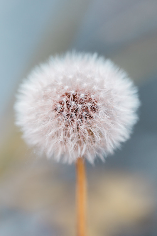 dandelion-indiana.jpg