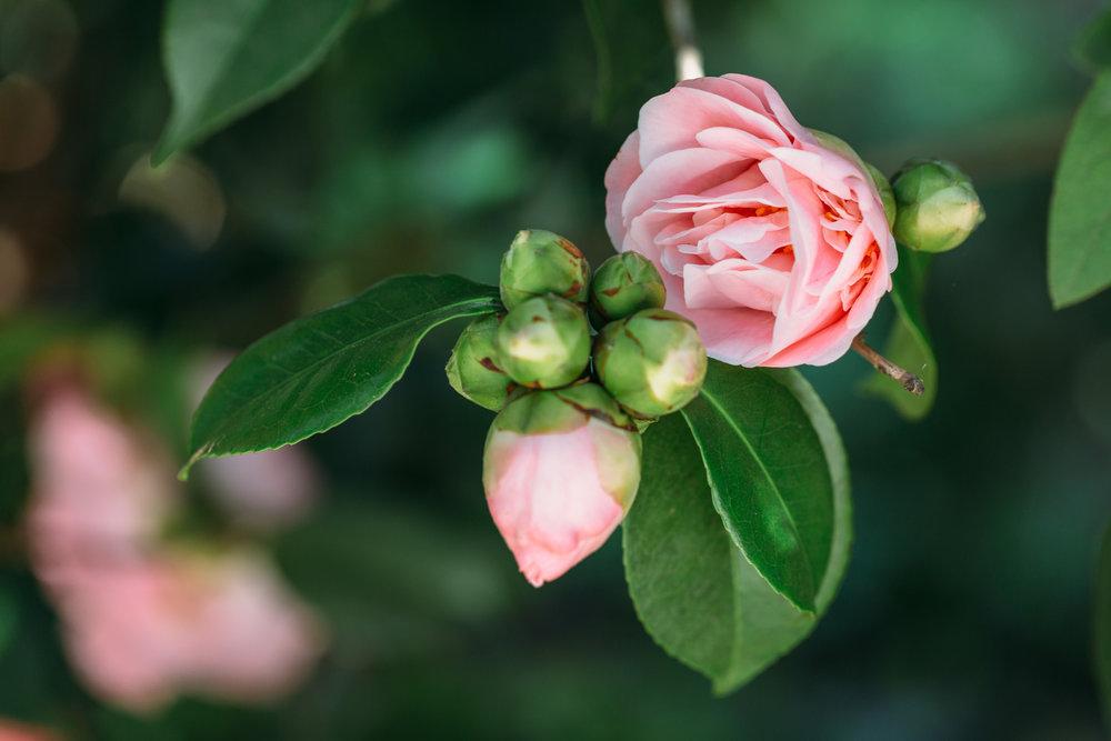 pink-roses.jpg