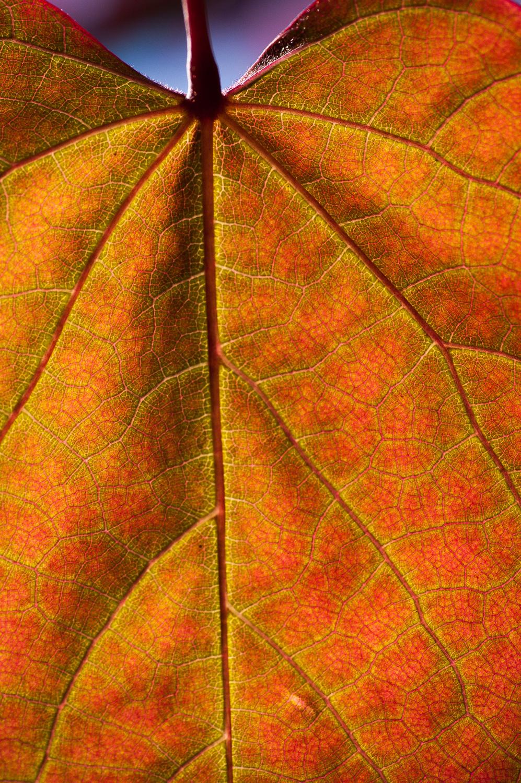 Fall Redbud leaf
