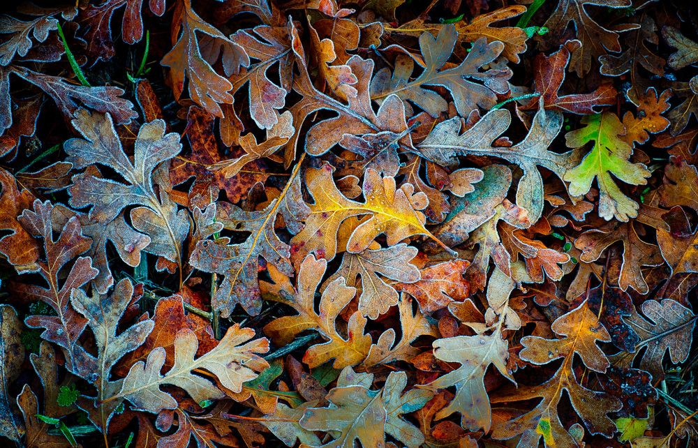 Frost on Fall Oak leaves in Colusa County, California