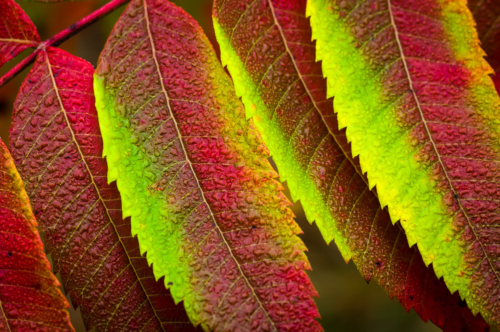 Fall Sumac leaves with dew