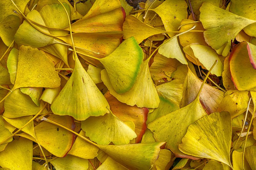 Fall Gingko leaves