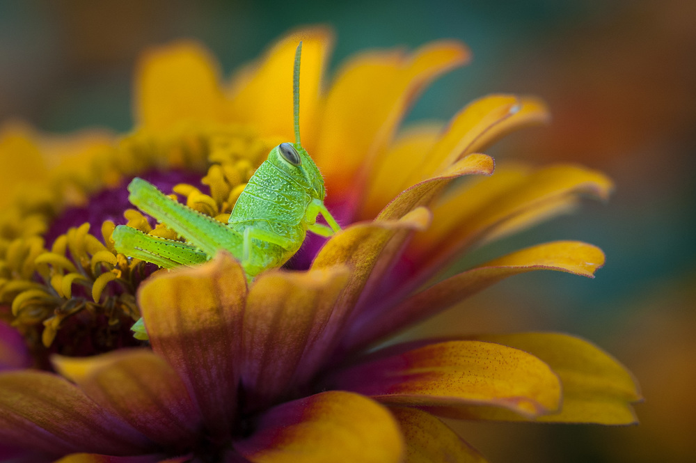 Glowing green grasshopper on flower at Botanica, The Wichita Gardens