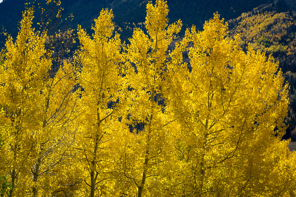 Backlit Aspens in Southwest Colorado